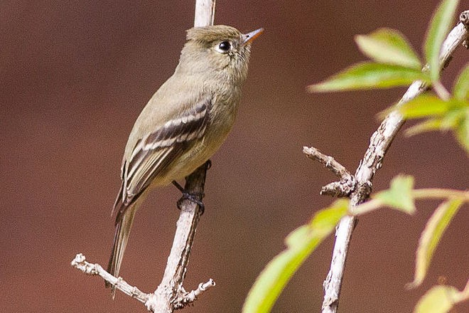 Pine Flycatcher was recorded by all four North American Big Year birders. This one was in Sinaloa, Mexico.