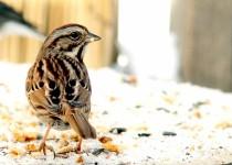 Song-Sparrow-Snow-Sat