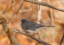 Dark Eye Junco
