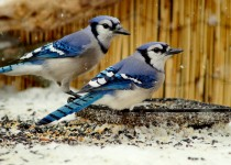 2-Blue-Jays-March-sml