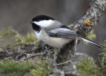 Black-capped-Chickadee-Calgary