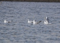 Bonaparte's Gulls - Eagle Creek Park, IN