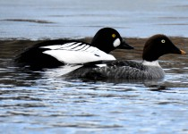 Common-Goldeneye-pair-Calgary