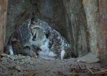 GREAT-HORNED-OWL-CHICK_MG_0060-POST