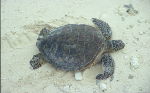 Green sea turtle on Midway. Photo by Michael Lusk/U.S. Fish and Wildlife Service
