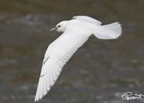 Ivory-Gull-25