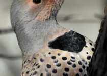 Northern-Flicker-Calgary
