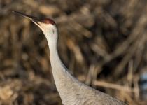 Sandhill Crane - profile - Cowles Bog, IN
