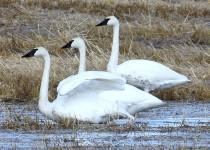 Trumpeter-Swans-Hwy-22X-2