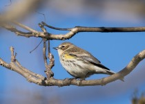 Yellow-rumped Warbler - Muscatatuck, IN