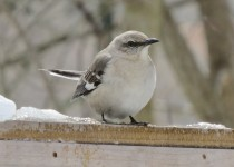 themockingbird