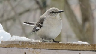 themockingbird