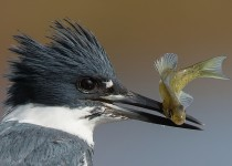 Belted-Kingfisher-with-impaled-fish