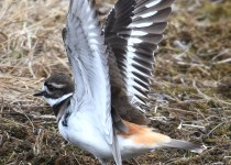 Killdeer-near-Millarville-1