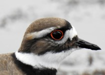 Killdeer-near-Millarville-2