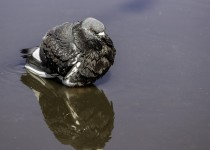 pigeon-in-a-puddle