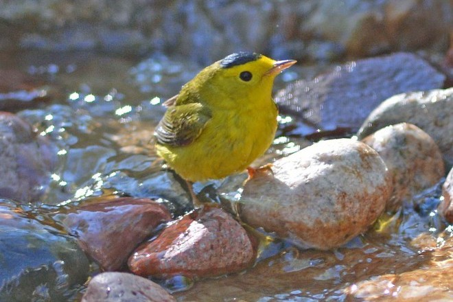A Wilson's Warbler at a backyard water feature in Wisconsin. Photo by Stephen Fisher