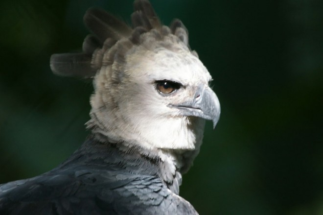 Harpy Eagle in Panama. Photo by Haui Ared/Wikimedia Commons
