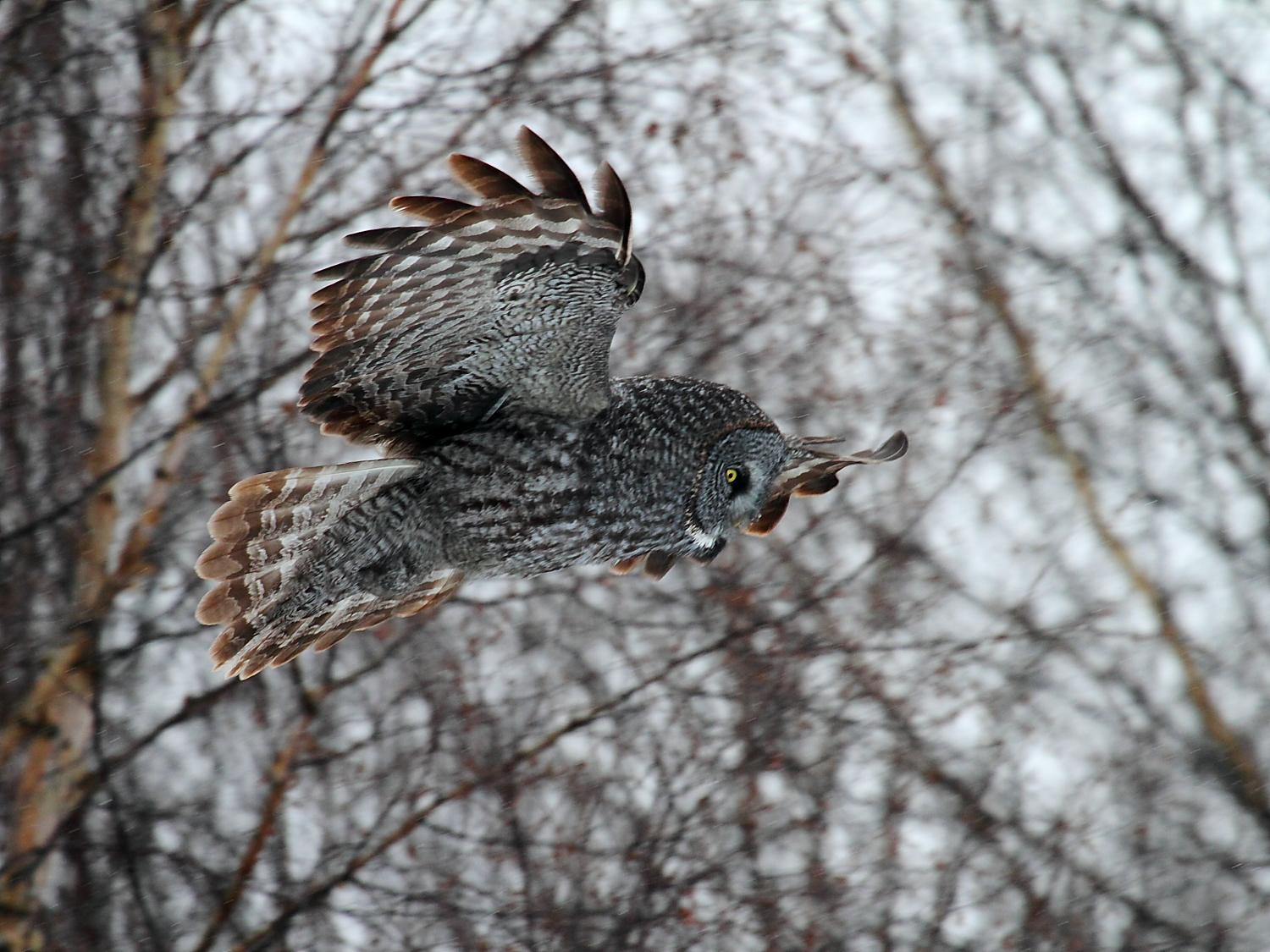 Photographing Great Gray and Northern Hawk Owls in winter