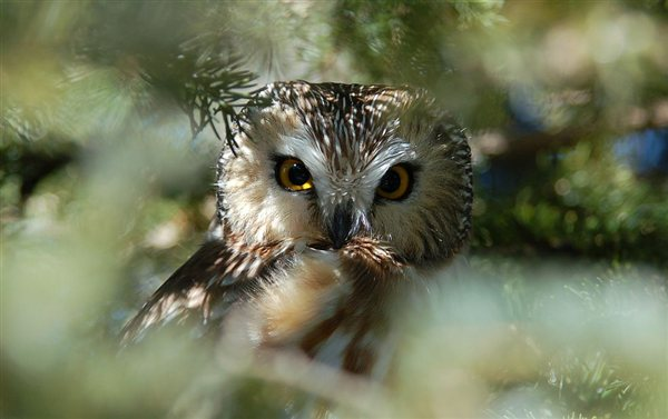 Species profile: The pint-sized Northern Saw-whet Owl