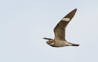 Species profile: The Uncommon Common Nighthawk