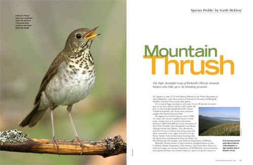 Species profile: Bicknell's Thrush – birdwatching in the White Mountains of New Hampshire