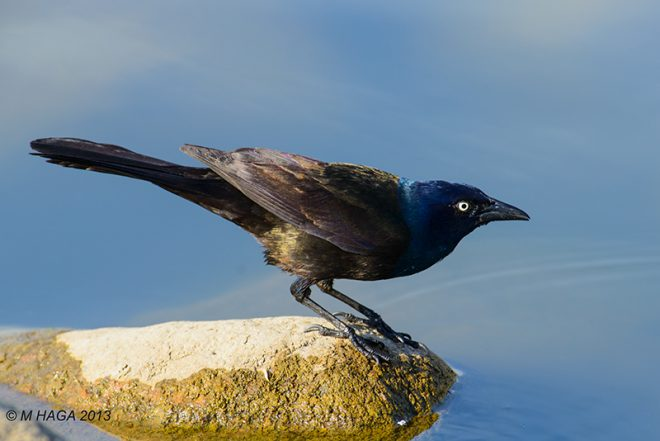 Coping with grackles - BirdWatching