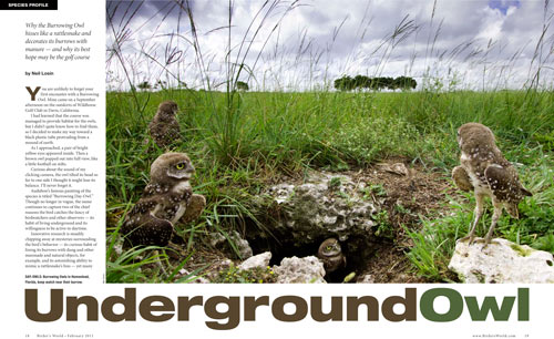 Species profile: Underground owl, Burrowing Owl