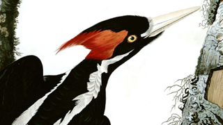 Ivory-billed Woodpecker is extinct, say two teams of researchers