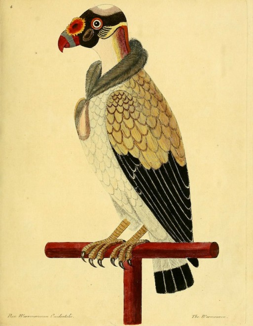 Painted Vulture