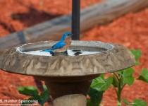 23DSC_1620-Eastern-Bluebird