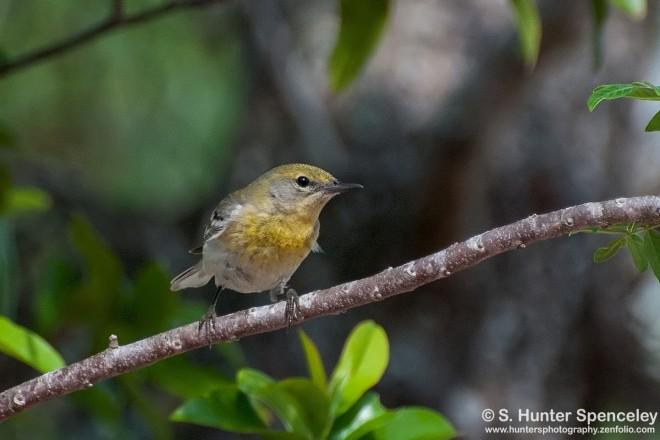23DSC_2784-Pine-Warbler