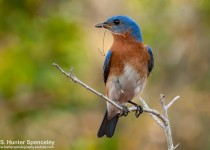 23DSC_2931-Eastern-Bluebird