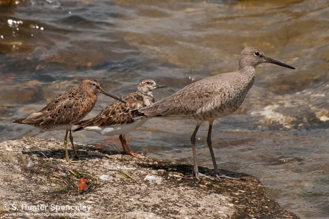 23DSC_3076-Dowitcher-Ruddy-and-Willet