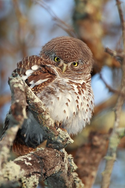 African-Barred-Owlet