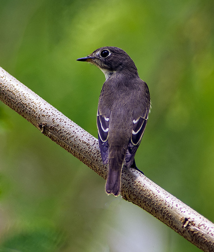 Asian-Brown-Flycatcher