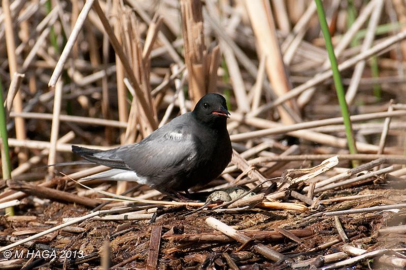 Black Tern, perched, near Aberdeen, Saskatchewan.