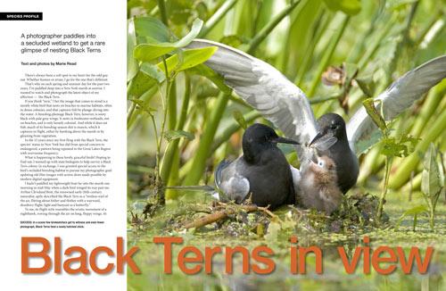 Species profile: Black Terns in view