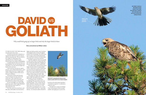 David vs. Goliath: Mobbing behavior in birds