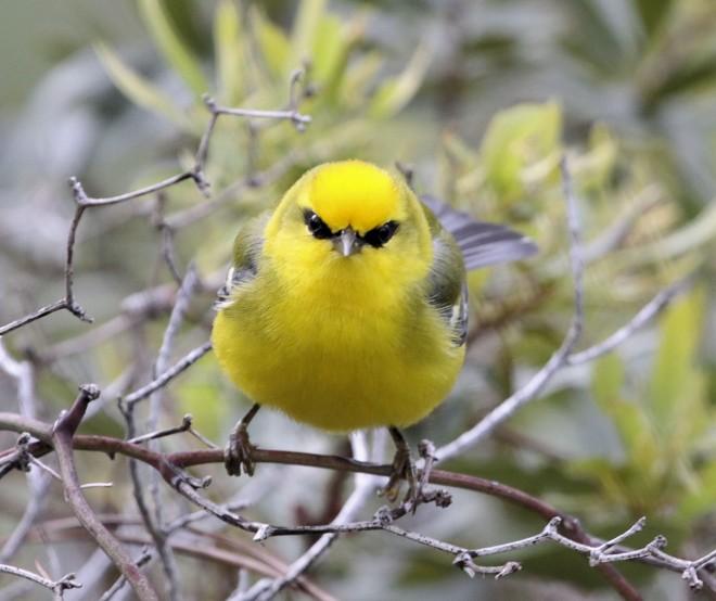 Blue-winged-Warbler2