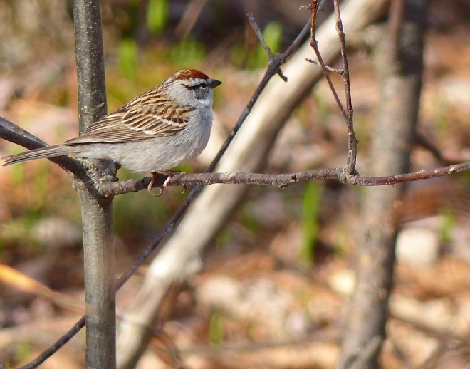 Chipping-Sparrowforweb
