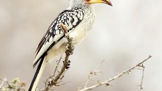 Hornbill4