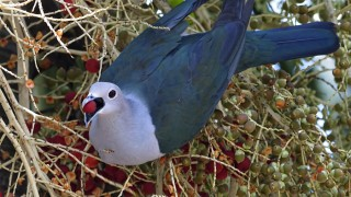Imperial-Green-Pigeon-102