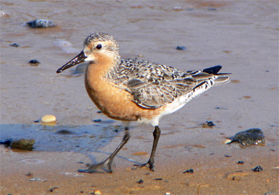 Horseshoe crab eggs and Red Knots and other shorebirds in Delaware Bay, New Jersey