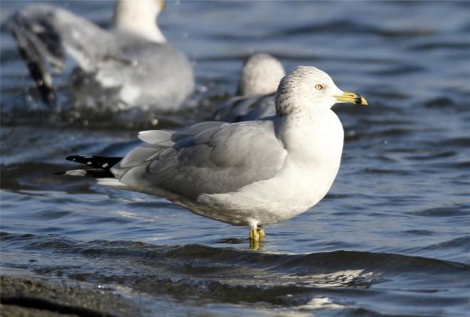 Ring-billed-Gull