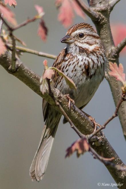 Sparrow-Song-2013-6696