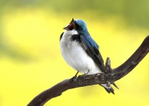Swallow-Tree-2013-04-07080