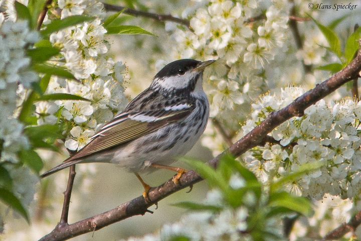 Far-flying Blackpoll Warbler crosses continent before crossing ocean