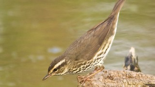 Waterthrush-Northern-2009-2404