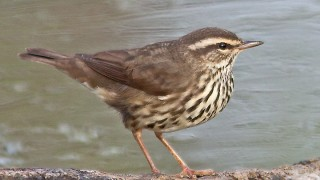 Waterthrush-Northern-2009-2409